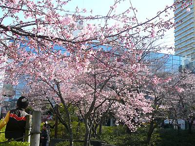 マリンピアの河津桜