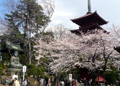 中山・法華経寺の桜