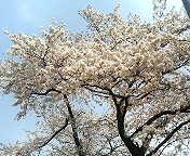 熱海・来宮の桜
