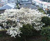06年八重桜