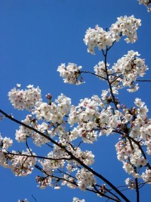 八丁堀で咲く桜