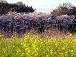 花見川の桜と菜の花