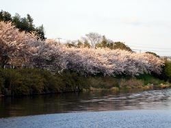 千葉市花見川沿いの桜