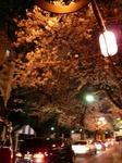 松戸 さくら通りの桜並木