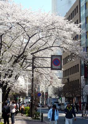銀座一丁目・日本料理 岩戸 お店の向かいの桜並木は満開! まさに見頃が到来中